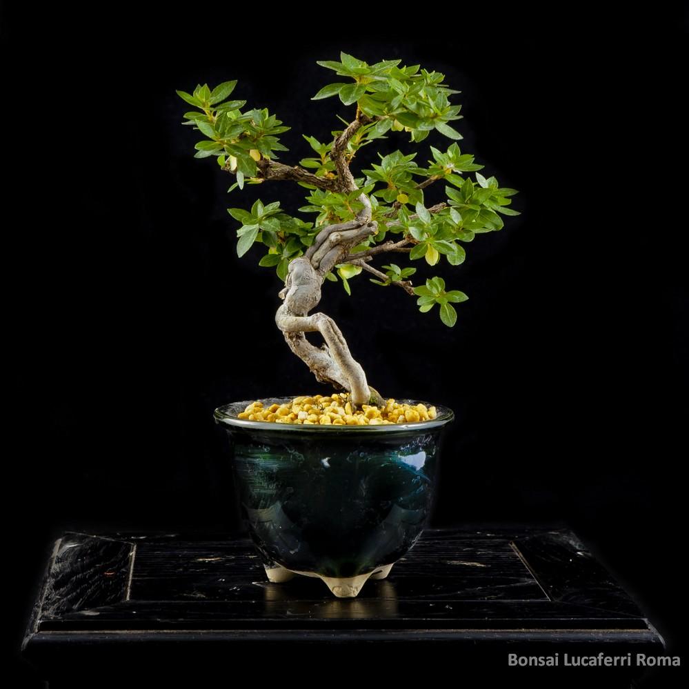 Vendita bonsai azalea rhododendrum bonsai lucaferri roma for Accessori per bonsai